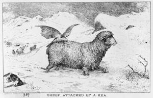 Kea on the back of a sheep